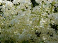 Fragrant Japanese Lilac Tree- 10 Viable Seeds